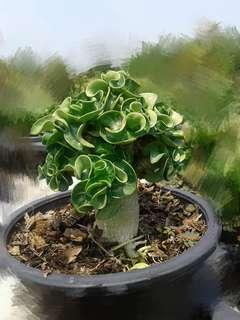 Adenium curly leaves bareroots