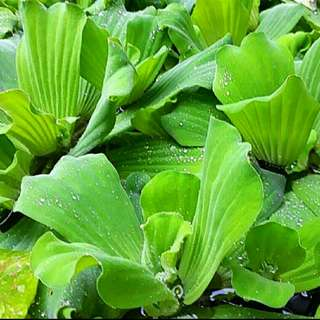 [THIS WEEK SPECIAL - 10 For $6] GARDENING/PET - ~7-8cm Diameter Water Lettuce/Water Cabbage/Pistia Stratiotes For Sale
