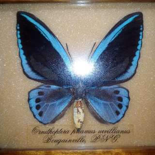 Butterfly Taxidermy Framed