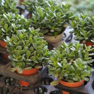 Crassula (Jade Plant) (Luck Plant) Succulents