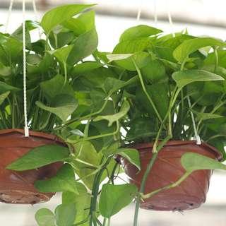 Money Plant (Hanging pot)