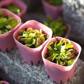 Venus Fly Trap (Small Size)