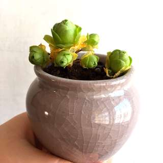 Greenovia potted