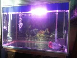 Ikan lohan ori srd + aquarium