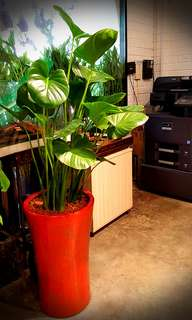 Water Alocasia with pot (5ft)