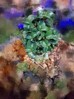 Curly leaves adenium. 富贵花