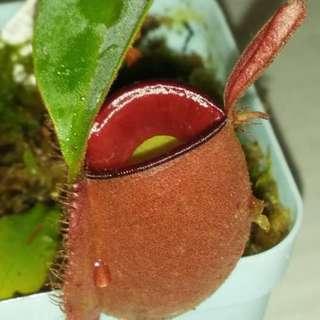 N. ampullaria william red x harlquin pitcher plant