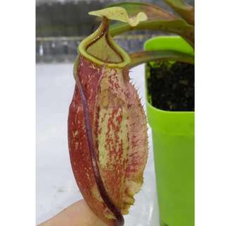 Nepenthes Suki pitcher plant in 7x7cm pot