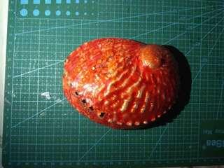 大鮑魚殼 貝殼