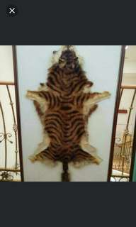 100% authentic baby tiger skin (full body)
