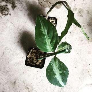 Aglaonema pictum bicolor