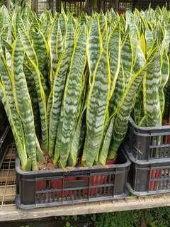 Plant - Sansevieria Trifasciata Laurentii 2 Ft ($15/$18)