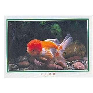 GDF-07-香港明信片-金魚-紅白高頭(向左)-新穎,尺寸-16.2X11.4CM
