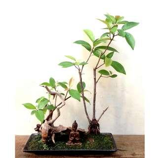 Zen  Bonsai  -  Nirvana  Series  1029