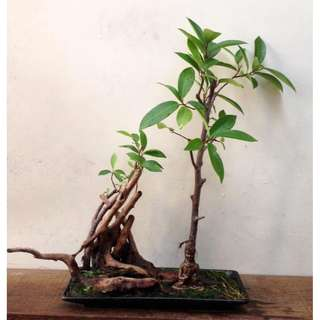 Zen  Bonsai  -  Nirvana  Series  1030