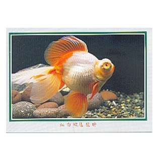 GDF-11-香港明信片-金魚-紅白蝶尾龍睛-新穎,尺寸-16.2X11.4CM