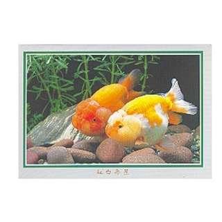 GDF-14-香港明信片-金魚-紅白壽星(2條)-新穎,尺寸-16.2X11.4CM