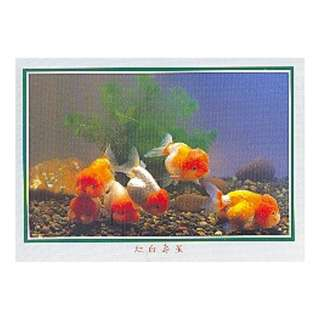 GDF-15-香港明信片-金魚-紅白壽星(6條)-新穎,尺寸-16.2X11.4CM