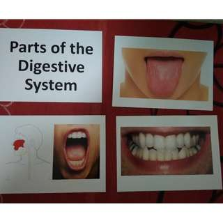 Parts of the Digestive System - BN Flashcards