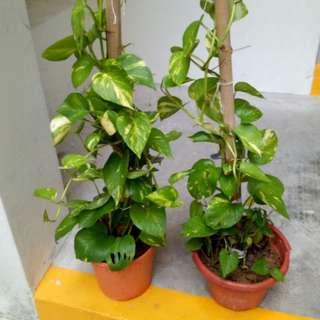 Rolette Money plant