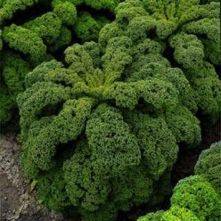 Green Curly Kale/Leafy Cabbage 'Kapral' (Brassica Oleracea L.) Vegetable Heirloom, 520-620 Seeds