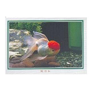 GDF-24-香港明信片-金魚-鶴頂紅(1條),新穎,尺寸-16.2X11.4CM