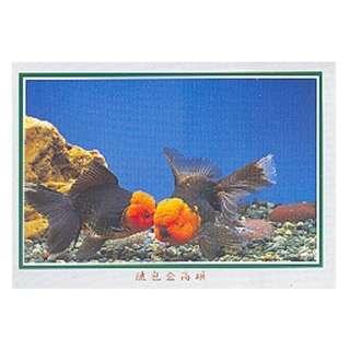 GDF-30-香港明信片-金魚-鐵包金高頭,新穎,尺寸-16.2X11.4CM