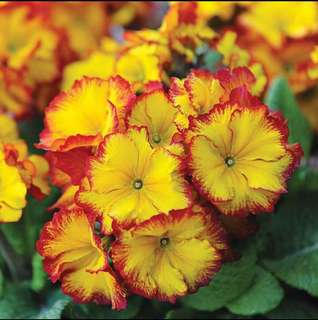 Yellow/Red Primula Primrose Seeds