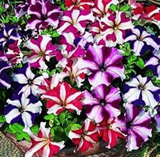 Petunia Multiflora Star Mix Seeds