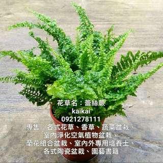 蕾絲蕨/療癒系植物/吸收揮發性有機污染物(甲醛、二甲苯、三氯乙烯)