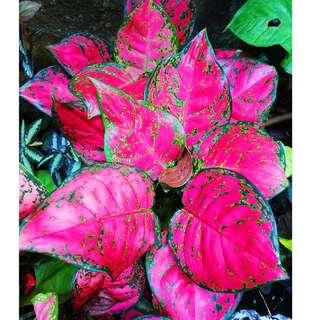 Red Anyamanee Chinese Evergreen (Aglaonema spp.)