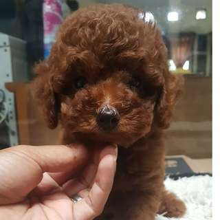 Anakan red toy poodle