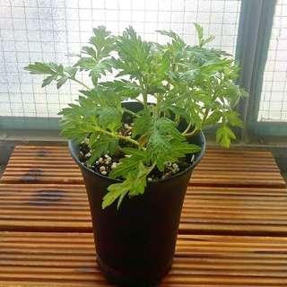 3盆100元 有機艾草 香草盆栽 連盆 Organic Herb plant