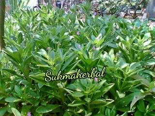 Bibit Tanaman Obat Ginseng Jawa | Som Jawa