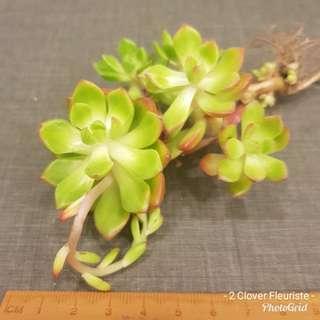 Rare succulent - Letizia