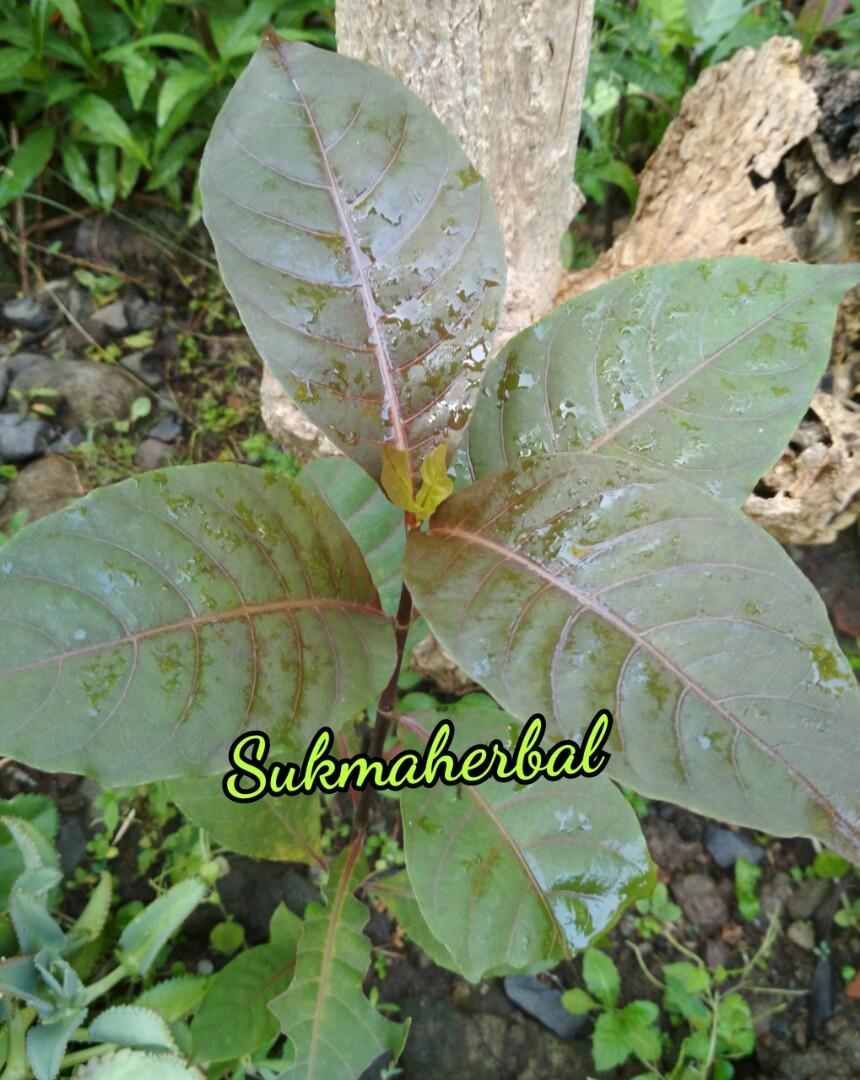 Bibit Tanaman Daun Ungu | Handeuleum | Graptophyllum Pictum, Gardening on Carousell