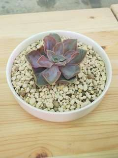 Succulents garden -please chat for price