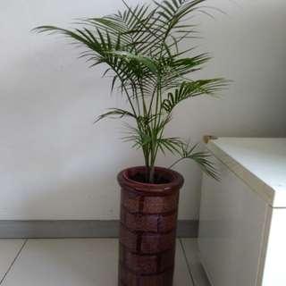 Java Palm Plant