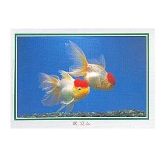 GDF-26-香港明信片-金魚-鶴頂紅(2條右),新穎,尺寸-16.2X11.4CM