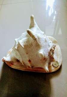 🚚 牛角螺貝