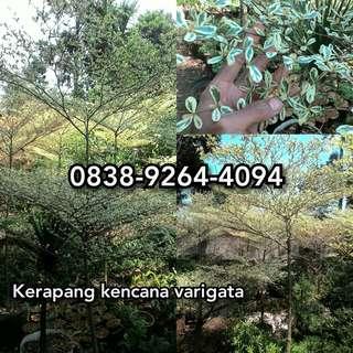 Jual tanaman ketapang kencana varigata / pohon ketapang kencana varigata