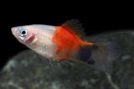 Candy Mickey Mouse Platy