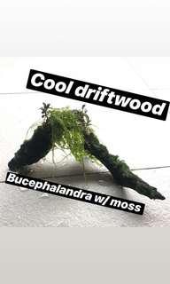 Drift wood with moss and bucephalandra