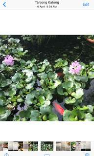 Water Hyacinth 3 nos for $1.00