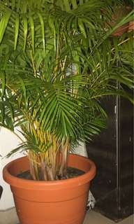 Erica Palm tree- well grown up 5 ft tall