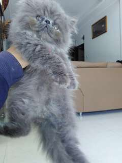 Kucing Kitten Peknose persia