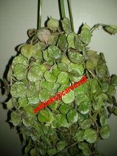 Hoya curtsii
