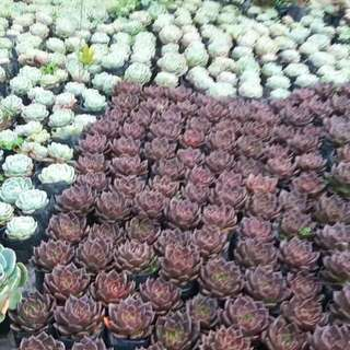 Succulents for GIVEAWAYS