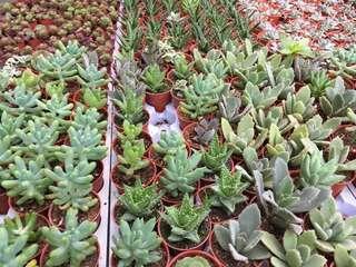 Succulent while stocks last