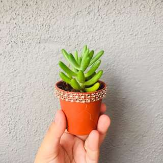 Teacher's day and mother's day succulent gift
